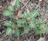 Mimosa Weed