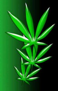 marijuanna_plant