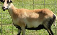 blackbelly-sheep